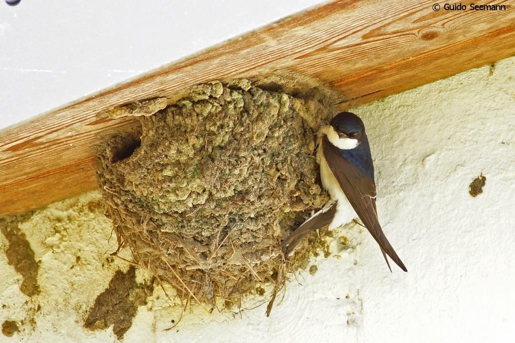 Mehlschwalbe baut ihr Nest