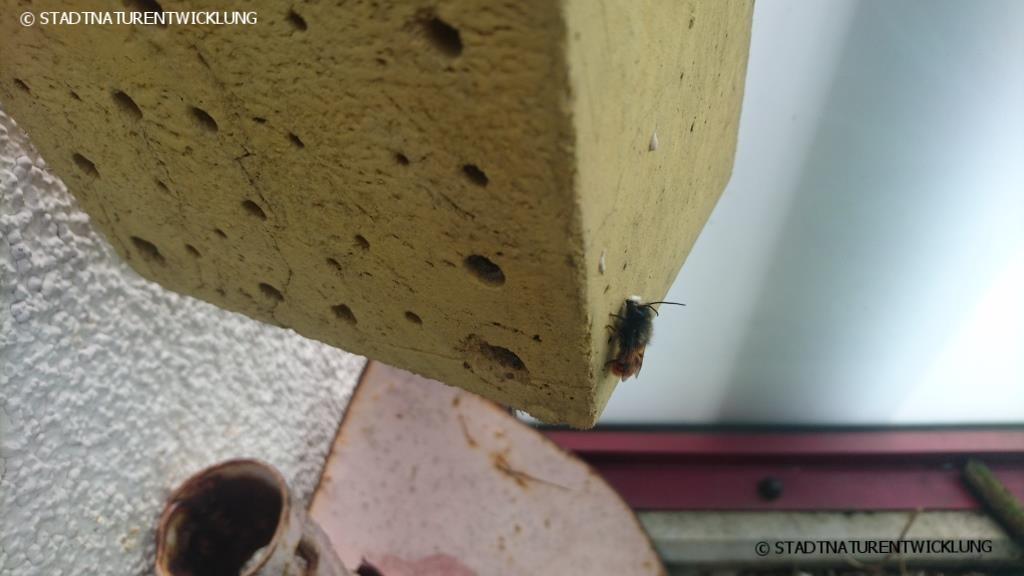 Mauerbienenmännchen ist an Nisthilfe geschlüpft