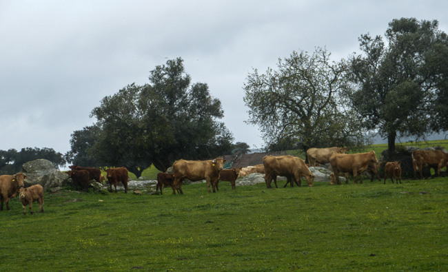 süße Kühe