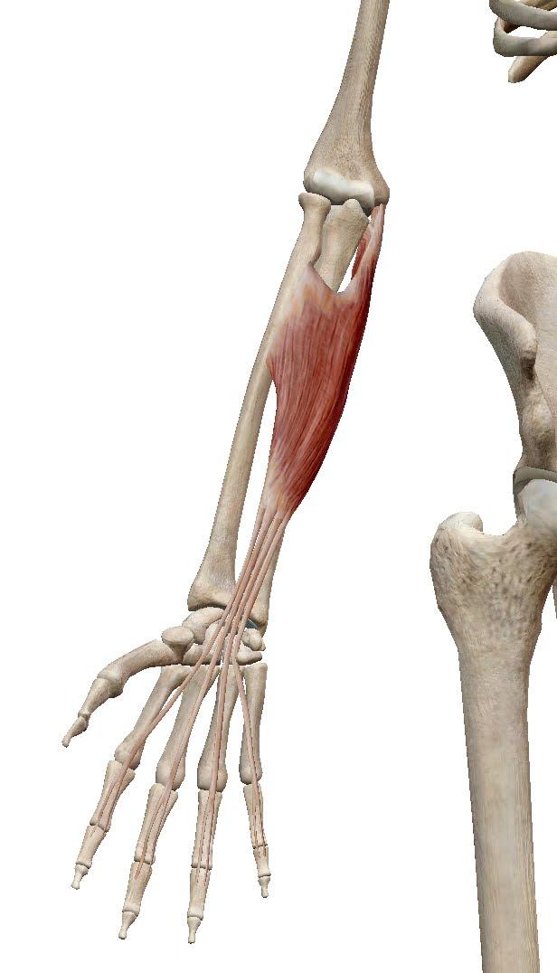 前腕の筋群:屈筋群 - 徒手療法の臨床論