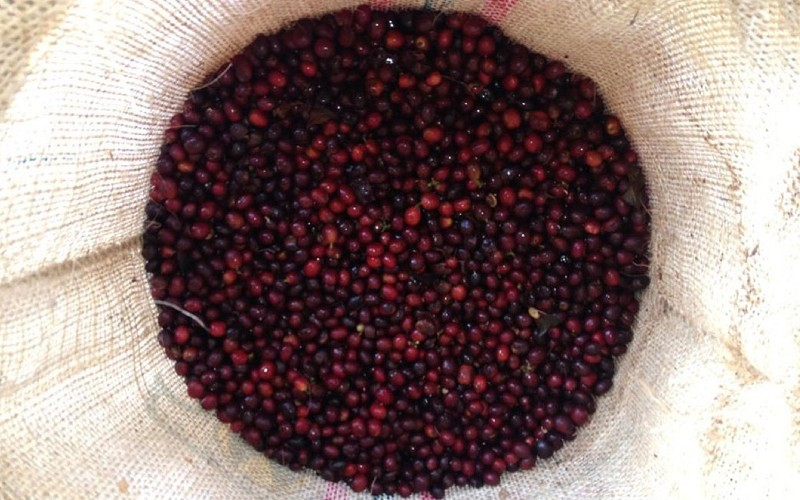 Kaffeekirschen nach der Ernte