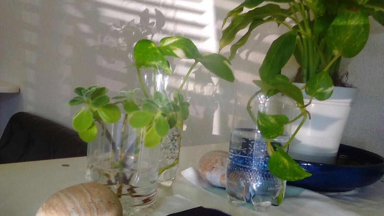 アロマティカスとポトス。簡単に増やせる観葉植物。欲しい方にお分けしています。