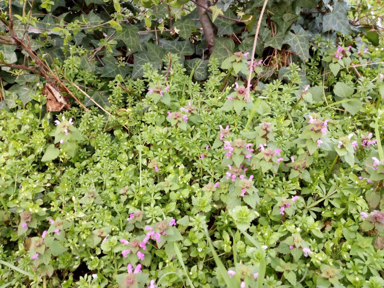 Leckere Taubnesselblüten und Labkraut im Schulgarten. Efeu für die Seife.
