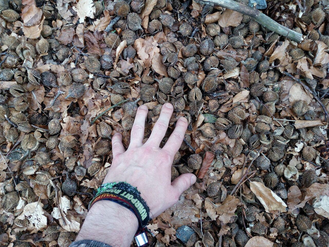Zeugen der Buchenmast von letztem Herbst. (April)