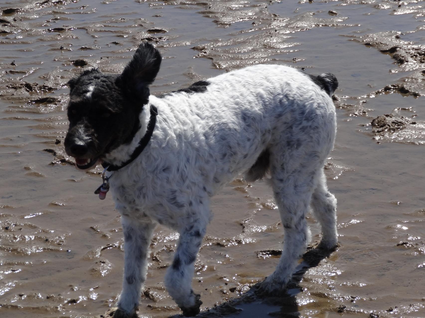 Hunde im Watt im Nordseeheilbad Cuxhaven Kurteil Sahlenburg