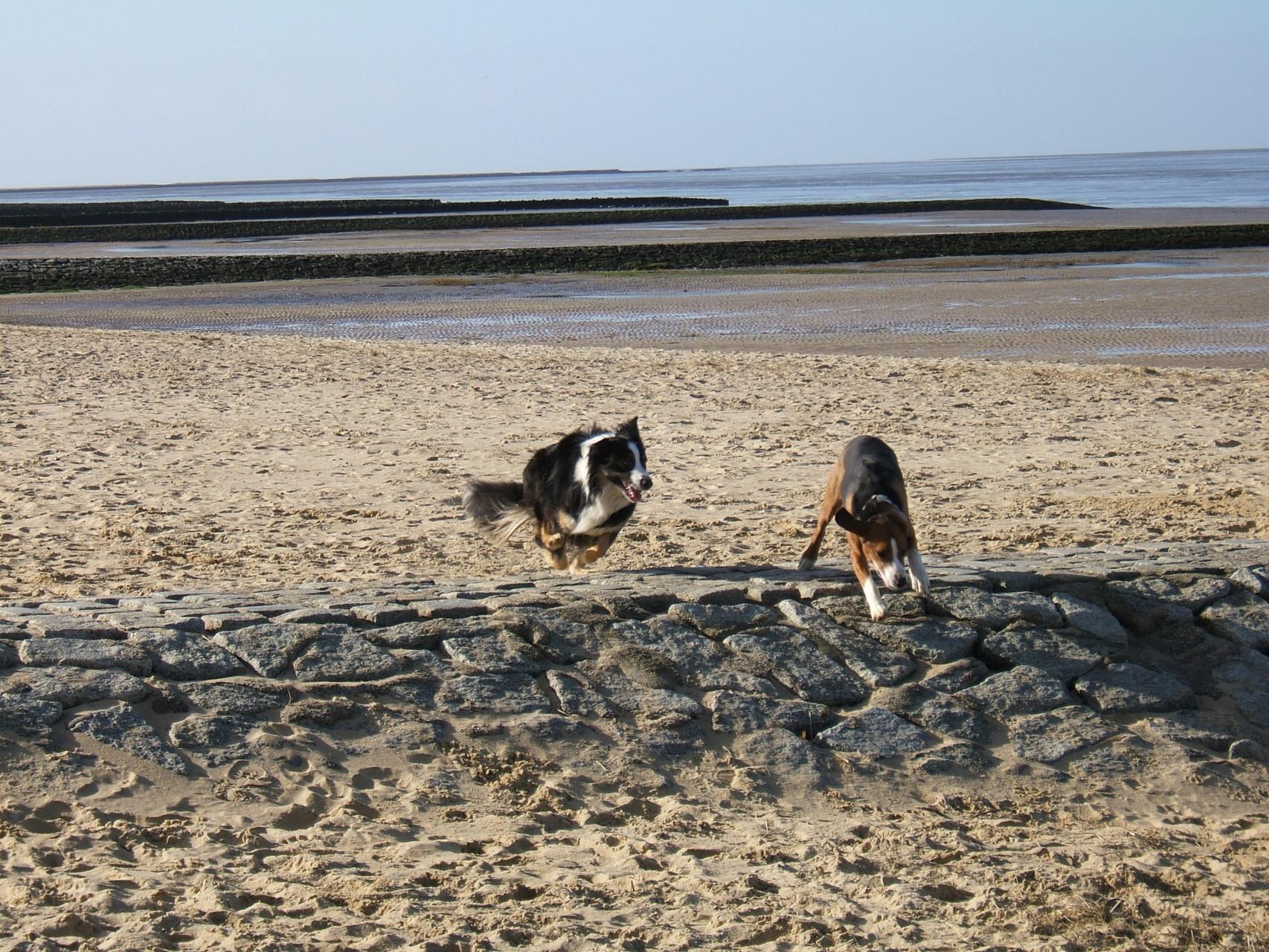 Hunde Spielen am Hundestrand in Cuxhaven Kurteil Sahlenburg