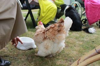 Senioren haben oft Bezug zu Hühnern