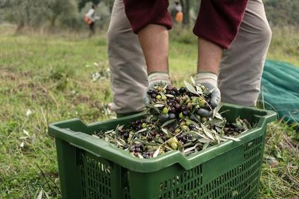 Ernte Oliven