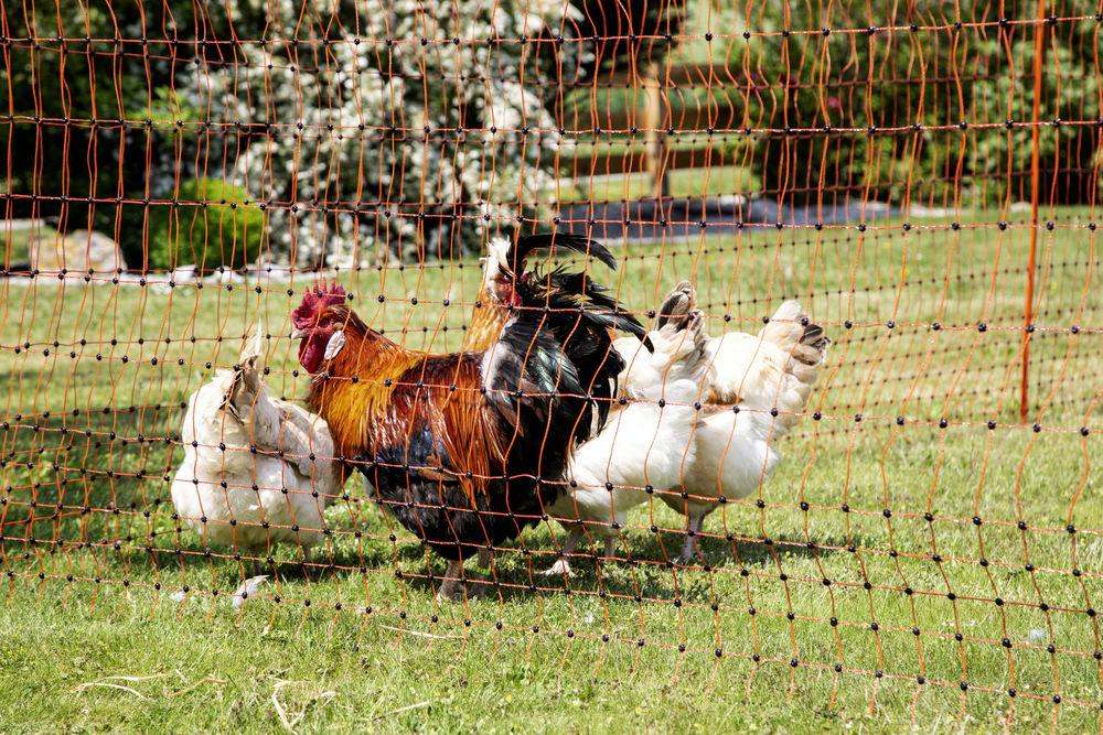 Alles rund um die Hühnerhaltung