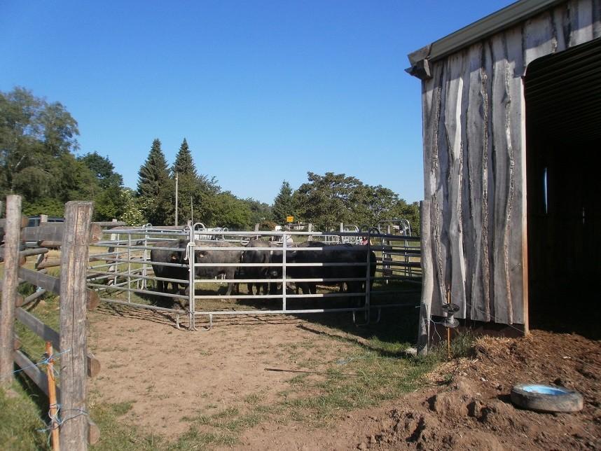 Wasserbüffel auf Weidefläche in Remsa