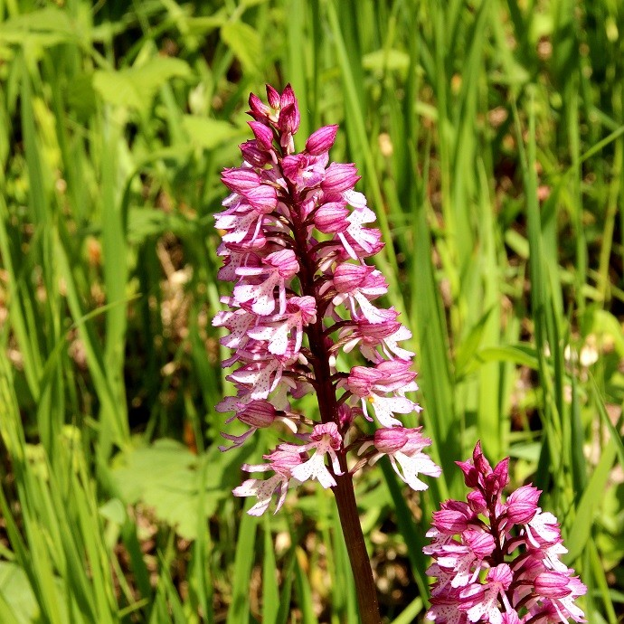 Orchideenwanderung im Leutratal