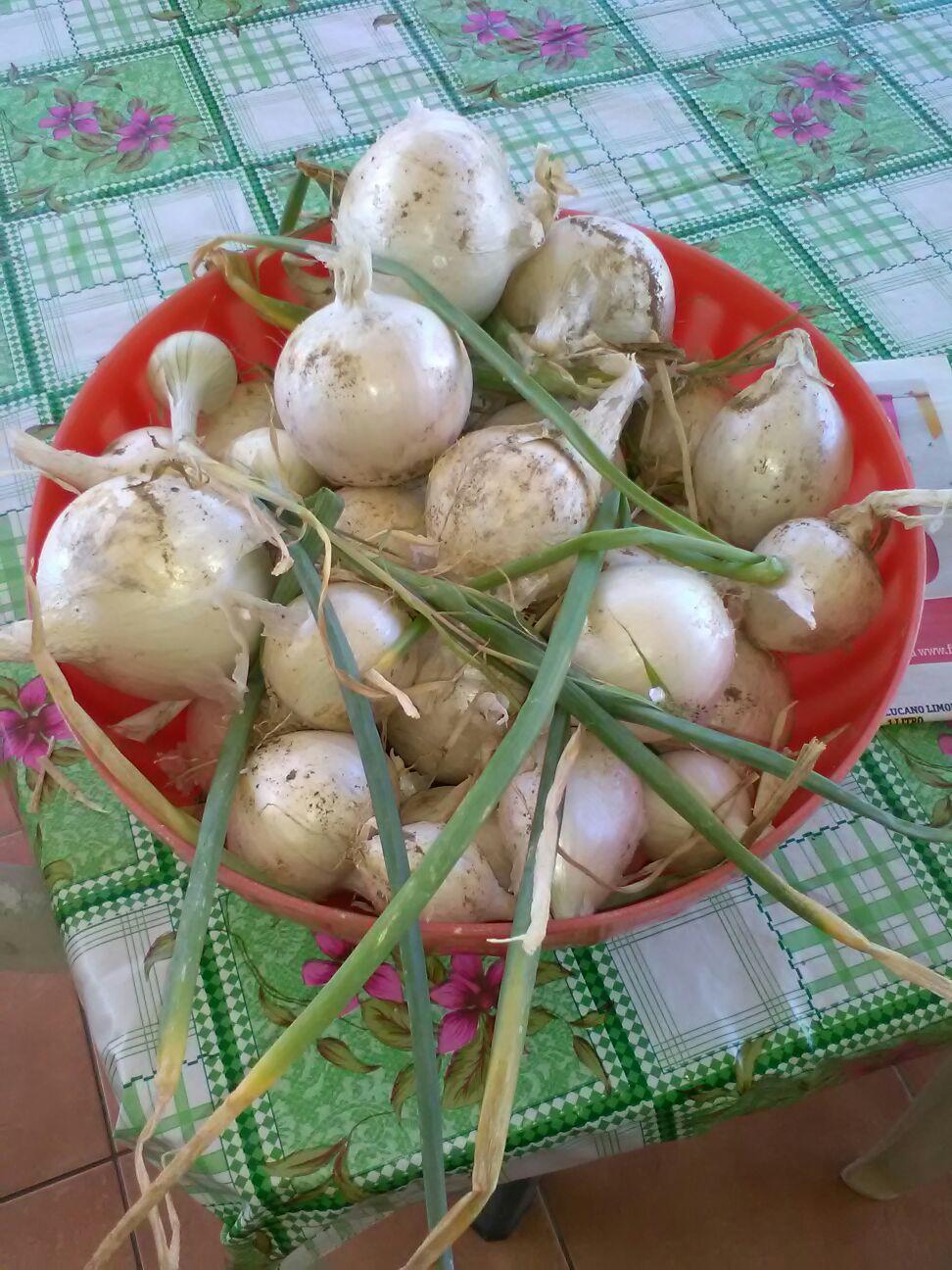 Le cipolle dell'orto di Silvana