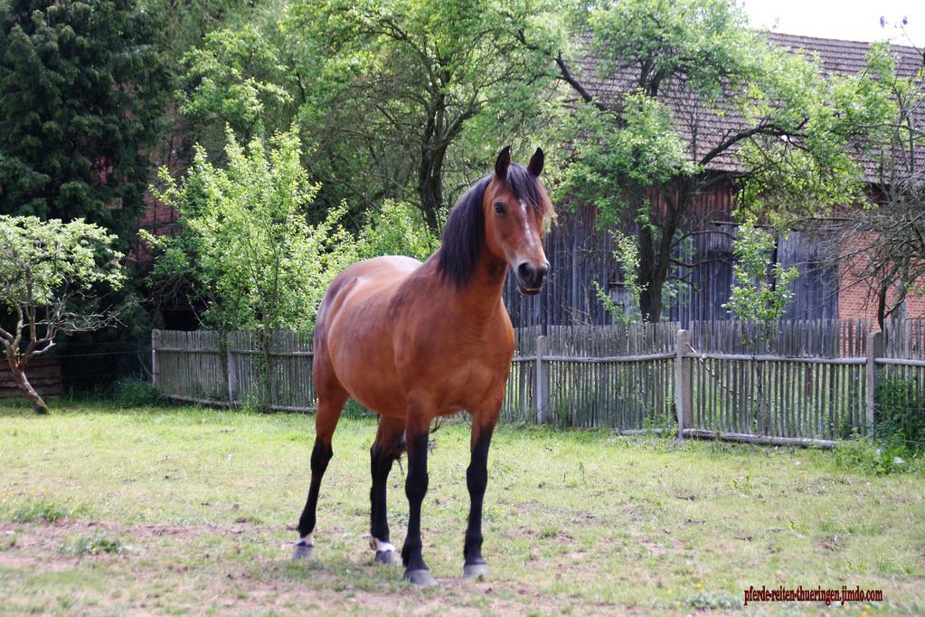 Morgan Horse / Rosa