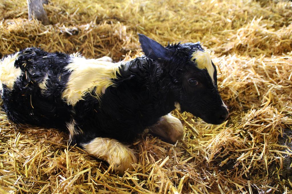 und auch die Geburt einer Kuh konnte Kathi miterleben
