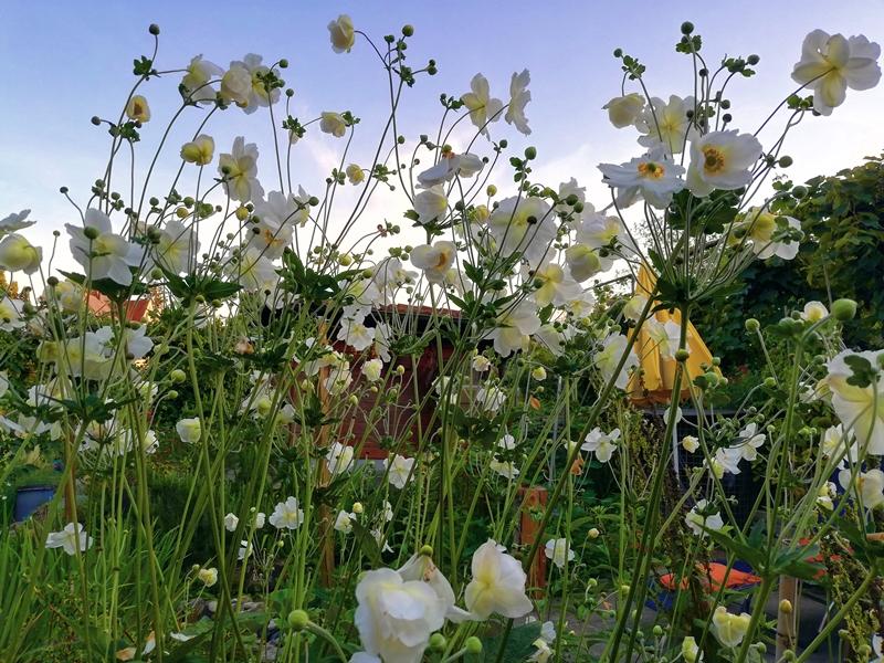 Herbstanemonen - Thimbleweed