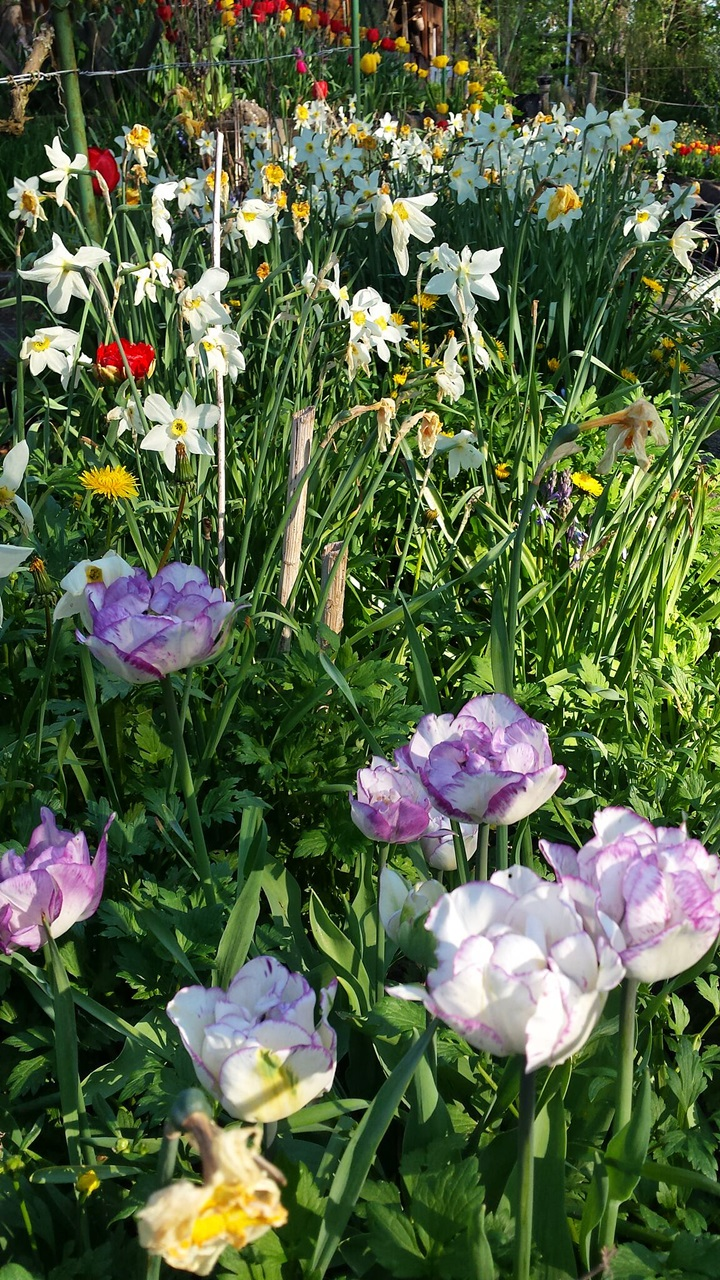 Über Tirili wachsen diese  wunderschönen Tulpen - Above Tirilis I' ve planted these beautiful tulips