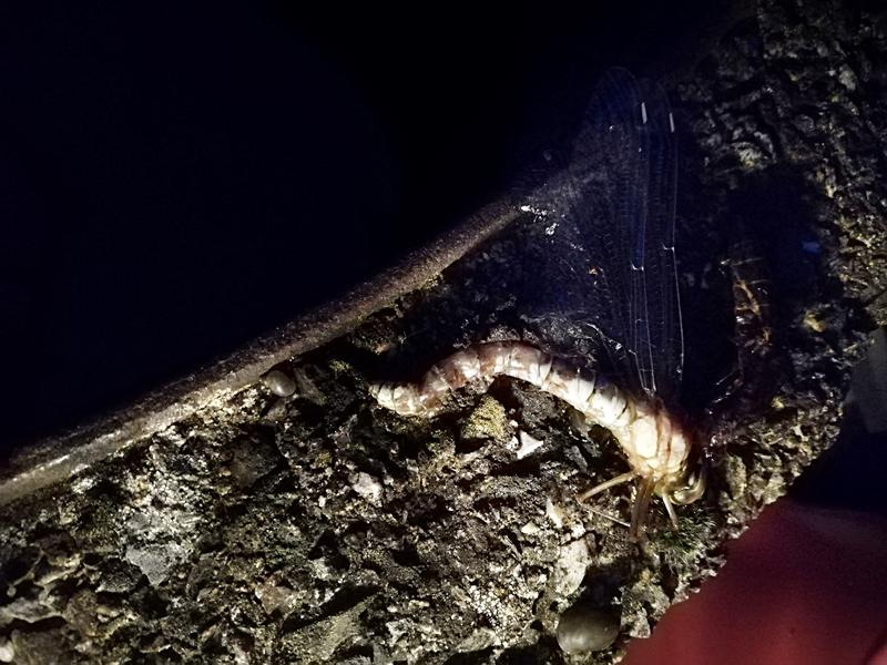Jedes Jahr dasselbe. Ein Libellenpaar legt seine Eier in den Brunnen. Manchmal komme ich rechtzeitig, um den Nachwuchs zu retten. Manchmal nicht.