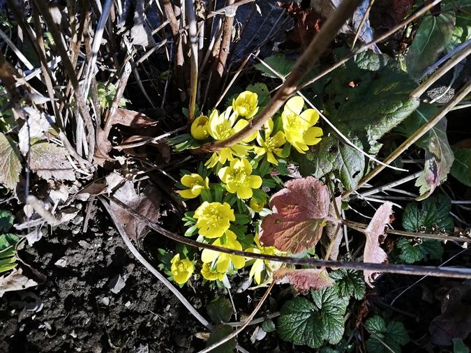 Gelber Winterling - Yellow winter aconite