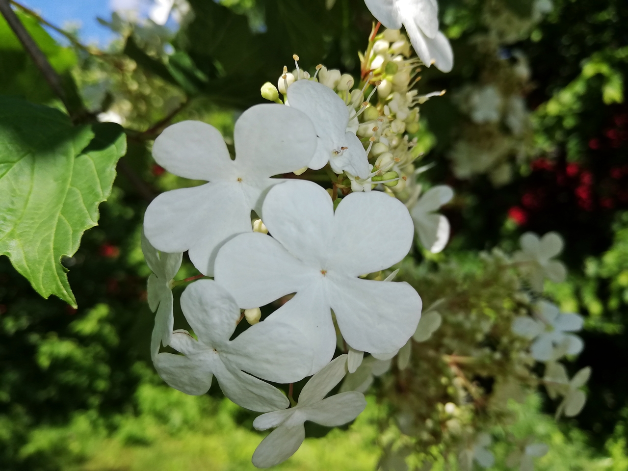 Schneeball - Snwoball/guelder rose, viburnum opulus