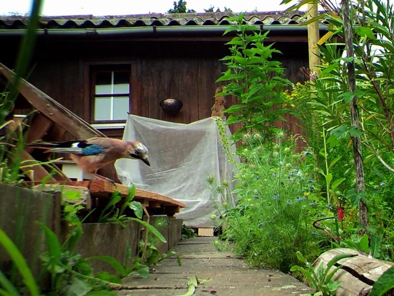 Rechts befindet sich der Teich, Herr Eichelhäher bereitet sich zum Bade - On the right is the pond, Mr. Jay is preparing to bathe