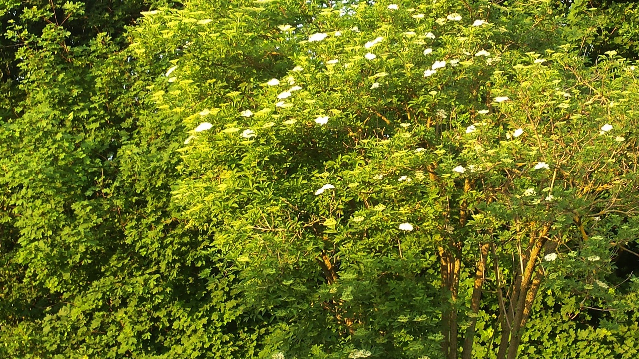 Holunder im Abendlicht (leider nur Handyfoto) - Elderberry in the evening light (unfortunately only mobile photo)