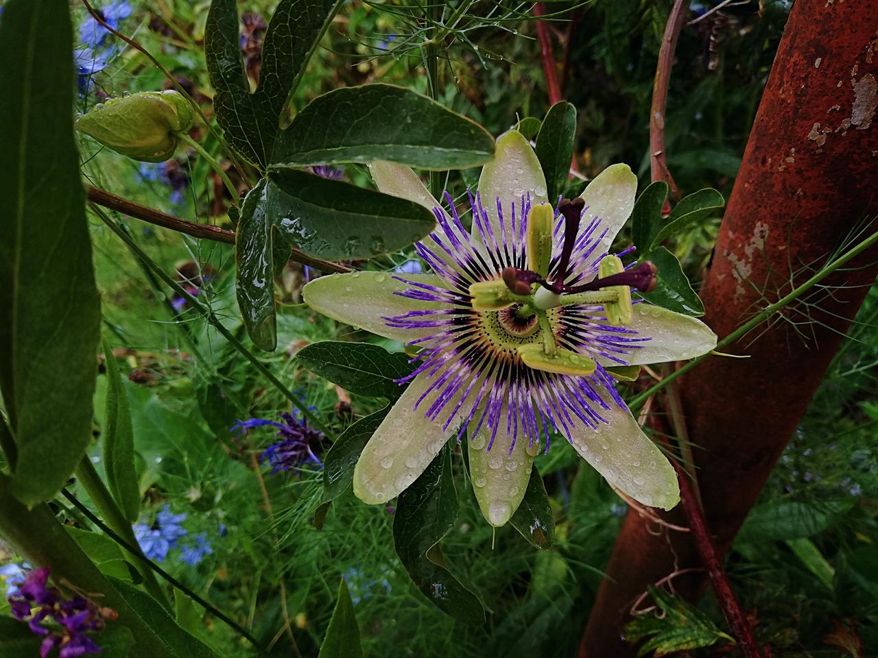 Passionsfrucht - Maracuya, Passiflora edulis