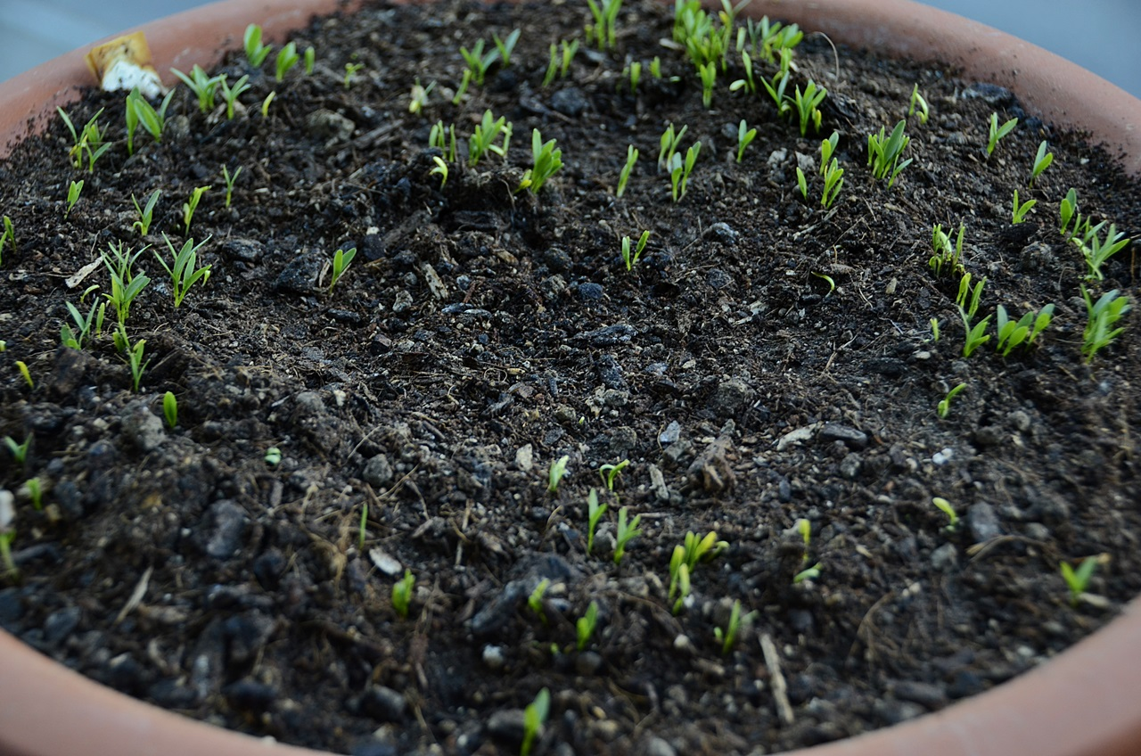 Koriandersamen, stark wie Ochsen, heben die Erde hoch - Coriander seeds, strong as bulls, lift the earth