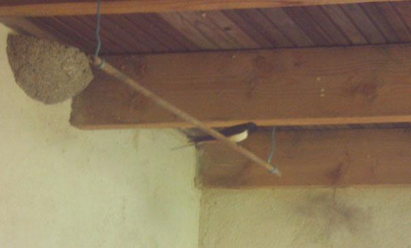mâle hirondelle rustique sur perchoir