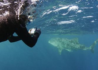 A researcher takes a photo-ID shot of a whale shark. Image: Peter Verhoog/Dutch Shark Society