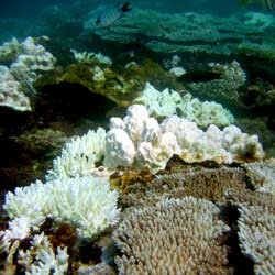 The range of bleaching stress can be seen here with the pale hard corals (Acropora sp.) on the left and completely bleached corals on the right. Photo: AIMS