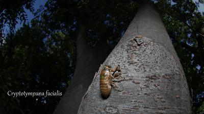 クマゼミの幼虫 撮影:長島聖大