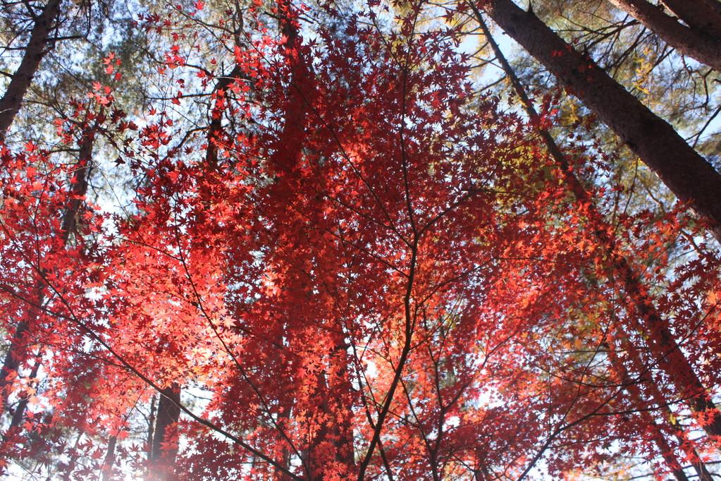 紅葉した葉が透けて風にそよぐ様子は幻想的です
