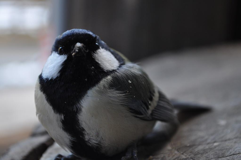 管理事務所の窓に飛んできたシジュウカラ まだ幼いのでしょうか きょとんとこちらを見つめています