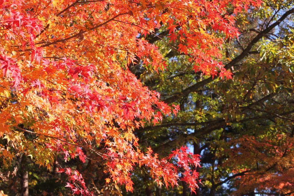 紅葉の時期 オレンジがこんなにも綺麗だと知っていました?