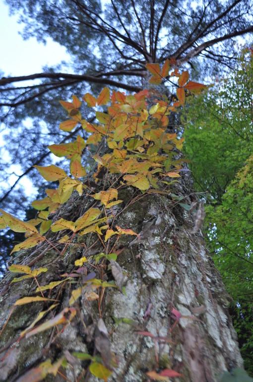 上へ上へ 大樹の幹を間借りしながら黄に色づく蔦の葉