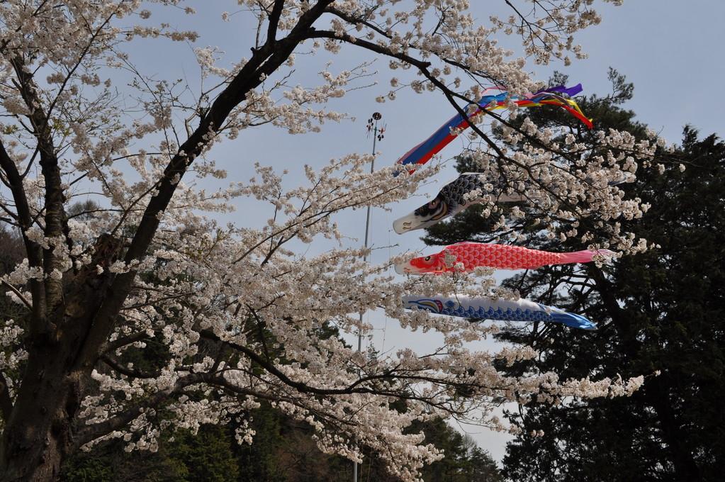 桜と鯉のぼり 春の風に吹かれます