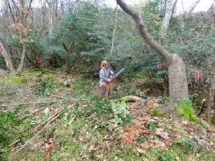 支障木の伐倒3