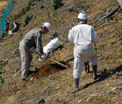 山鍬で植穴を掘る