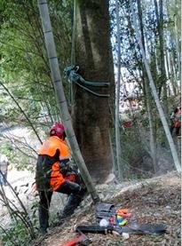 シラカシの伐採 伐根径 52㎝の巨木