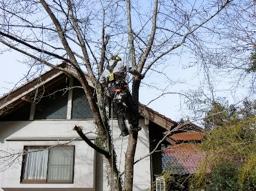 人家に接近したサクラの木 ツリークライミングでロープ掛け