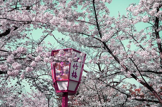 Kirschblüte im Park Maruyana Koen in Kyoto, Japan, als Farbphoto