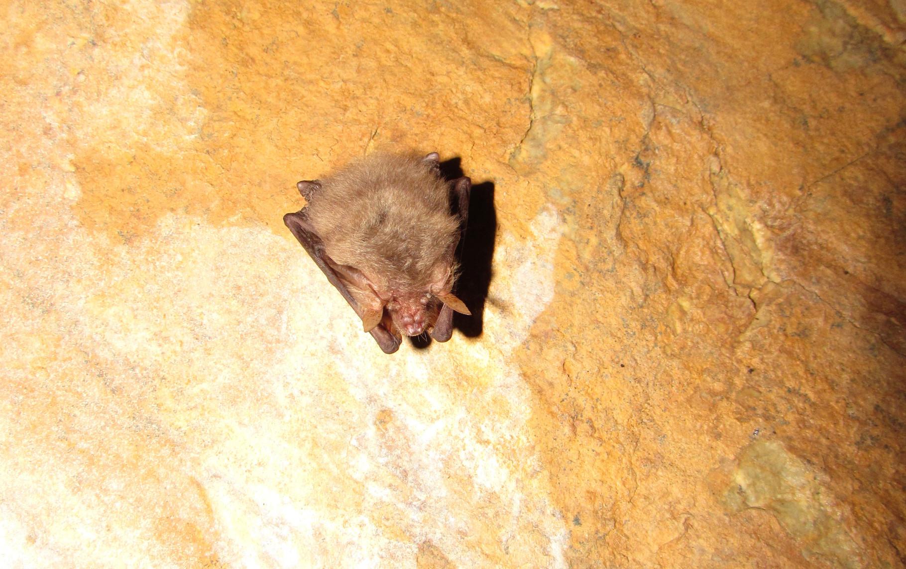 Monitoraggio svernanti 2014-2015 - Plecotus auritus