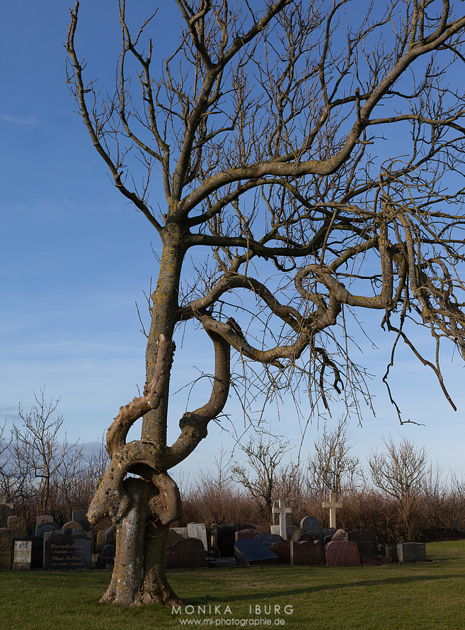Auf dem Friedhof ein Baum, dessen Wuchs mir