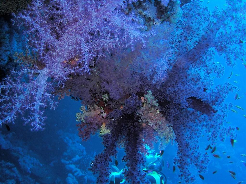 Ein Wald von Weichkorallen - wie im Märchen, nur schöner