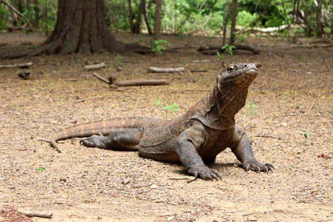Where To See Komodo Dragons On Rinca Or Komodo Island