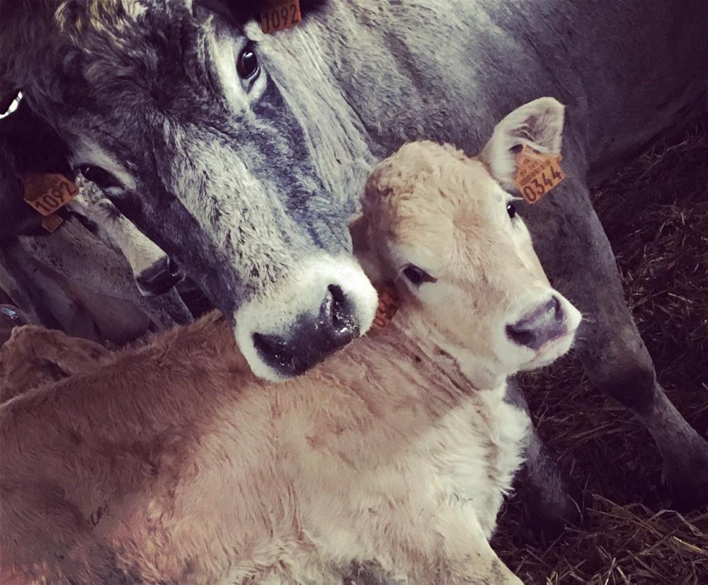 Vache gasconne et son veau