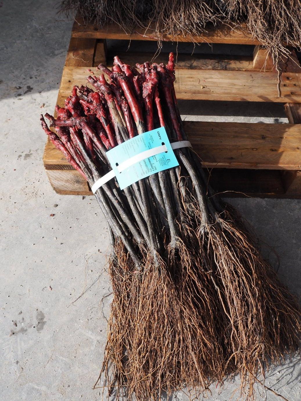 Plants prêts pour la vente
