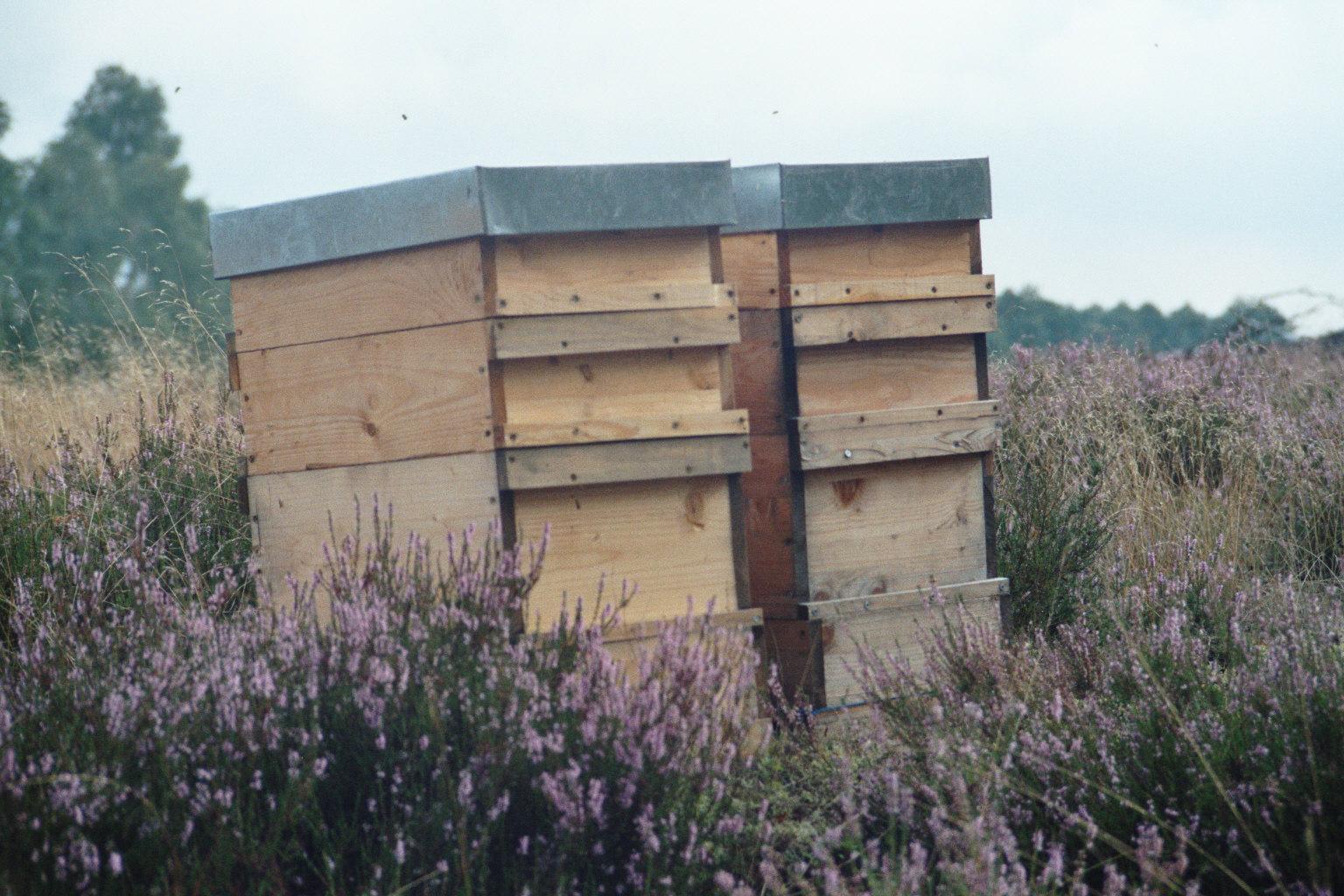 Bienenvölker in der Heide. Die Heideblüte bringt, wenn die Voraussetzungen stimmen, die letzte Ernte im Bienenjahr. Sie blüht im August und September und lässt die Heidelandschaft lila erstrahlen.