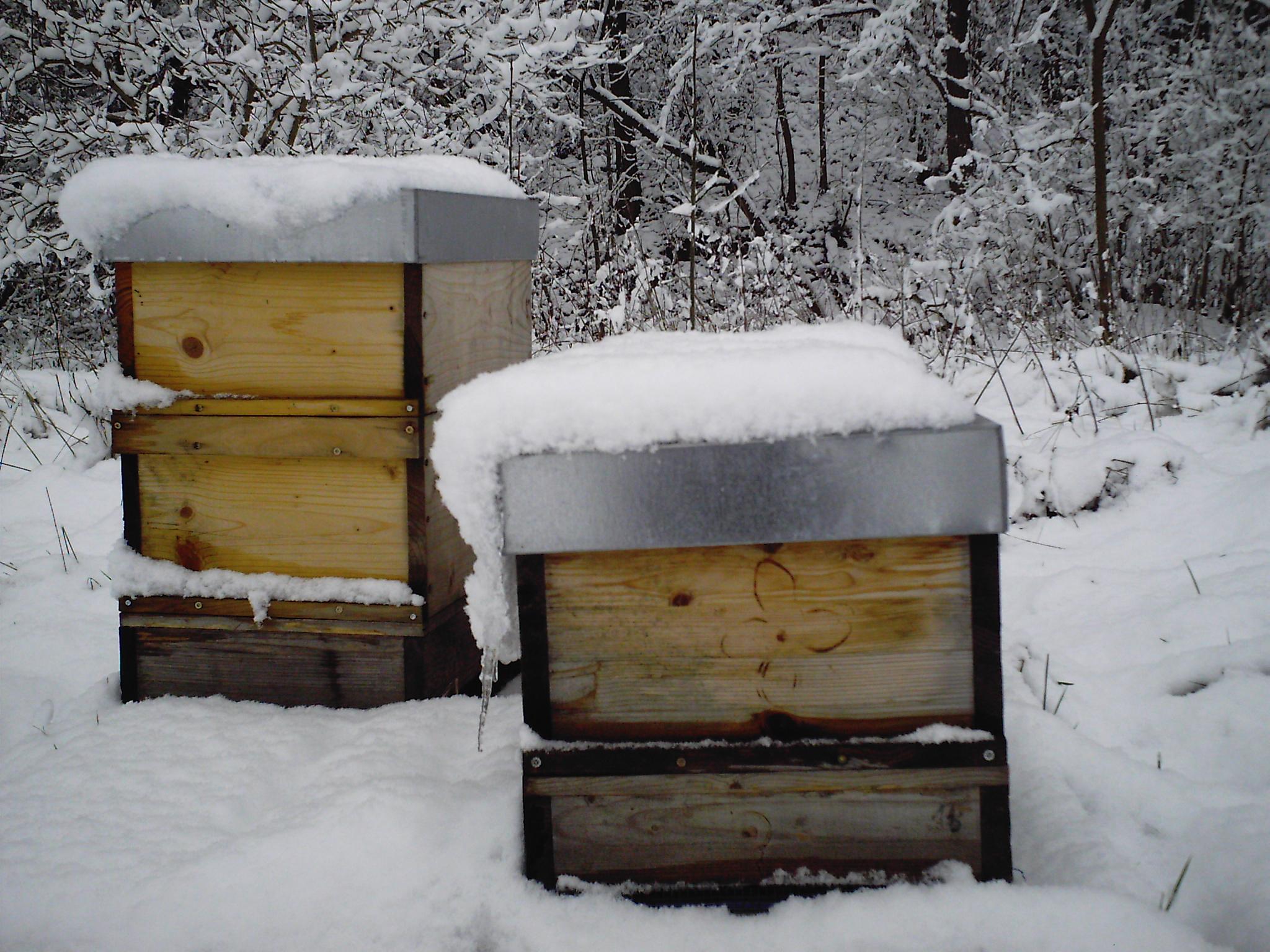 ...die Bienen leben auch im Winter draußen in Holzkästen, den sogenannten Beuten. Sie wärmen sich gegenseitig in einer Traube und können so auch bei Minusgraden eine Temperatur von bis zu 36 Grad erzeugen.