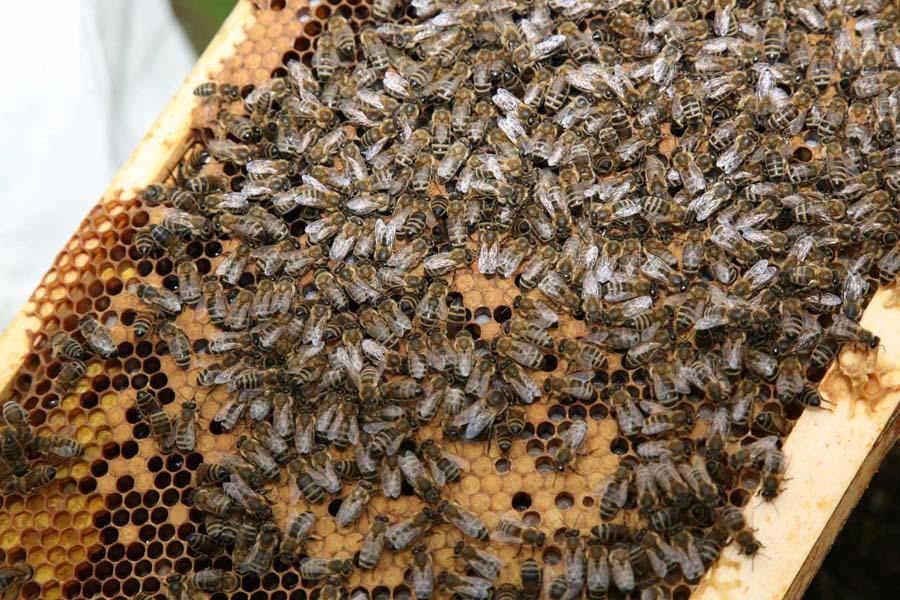 Hier sieht man eine Brutwabe. Die Königin legt Eier in die Zellen, aus denen kleine Larven schlüpfen. Zur Verpuppung werden diese verdeckelt.  Aus den verdeckelten Zellen auf dem Foto schlüpfen demnächst junge Bienen.